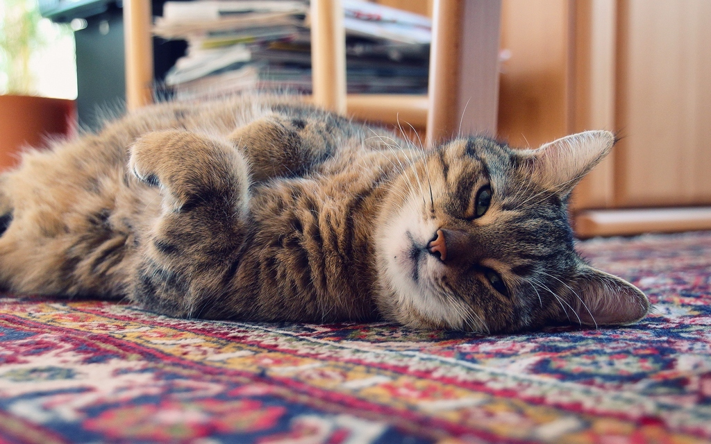 6964322-tired-cat-001